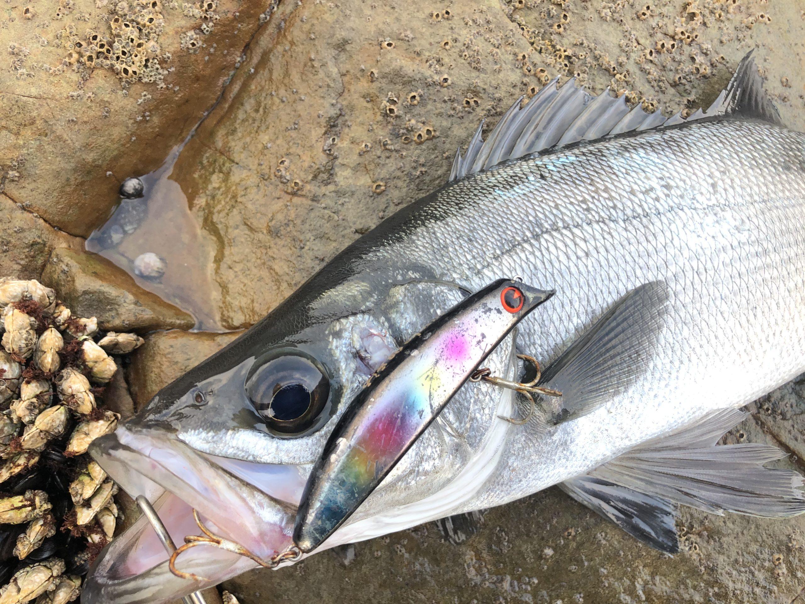 福岡地磯で釣れたヒラスズキ