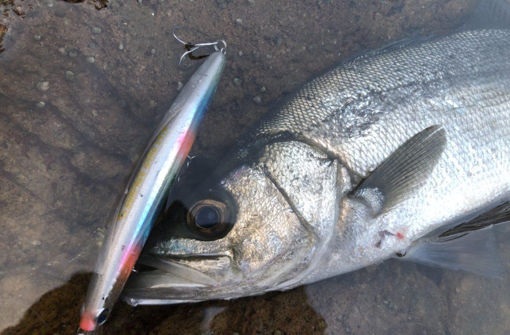 サーフェスウィングで釣れたヒラスズキ