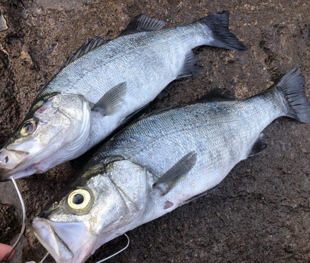 地磯で釣れたヒラスズキ2匹