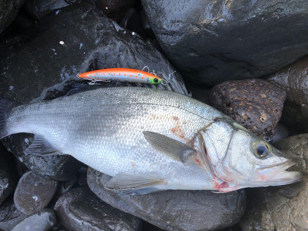 長崎地磯で釣ったヒラスズキ アスリート120SSPで釣ったヒラスズキ