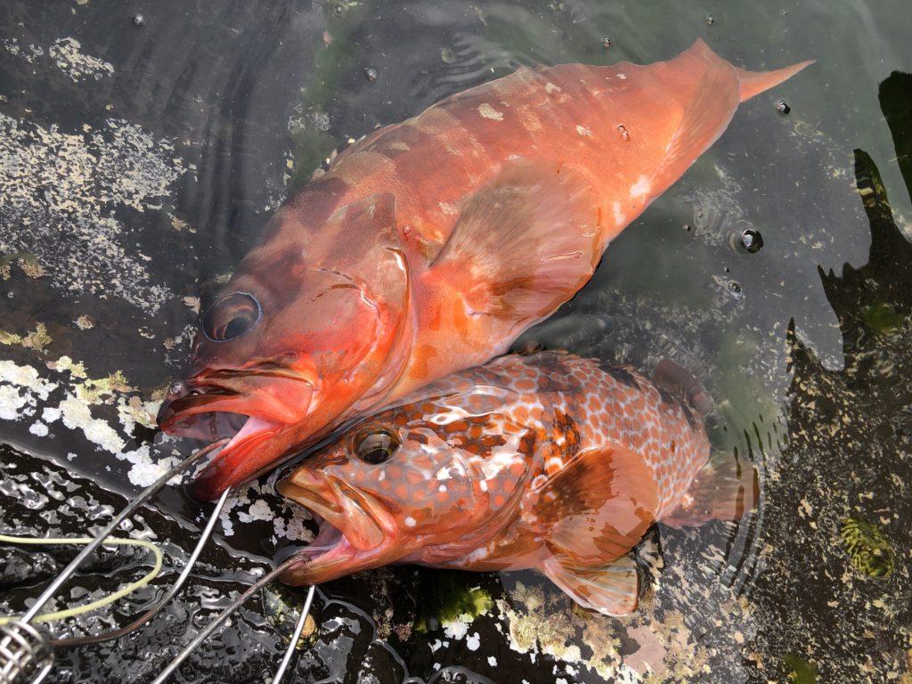 長崎地磯で釣れたアカハタとキジハタ ハードロックBBで釣れたアカハタとキジハタ