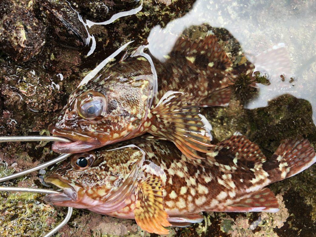 福岡地磯で釣れたカサゴ