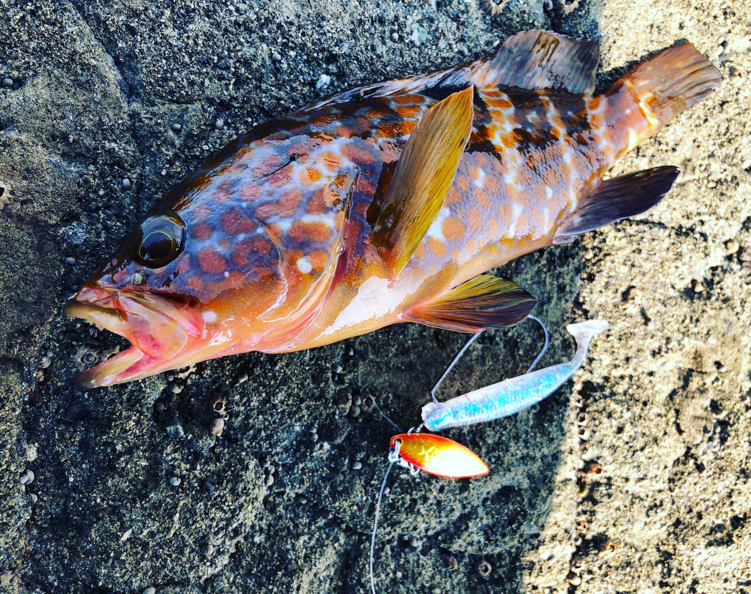 福岡地磯で釣れたキジハタ