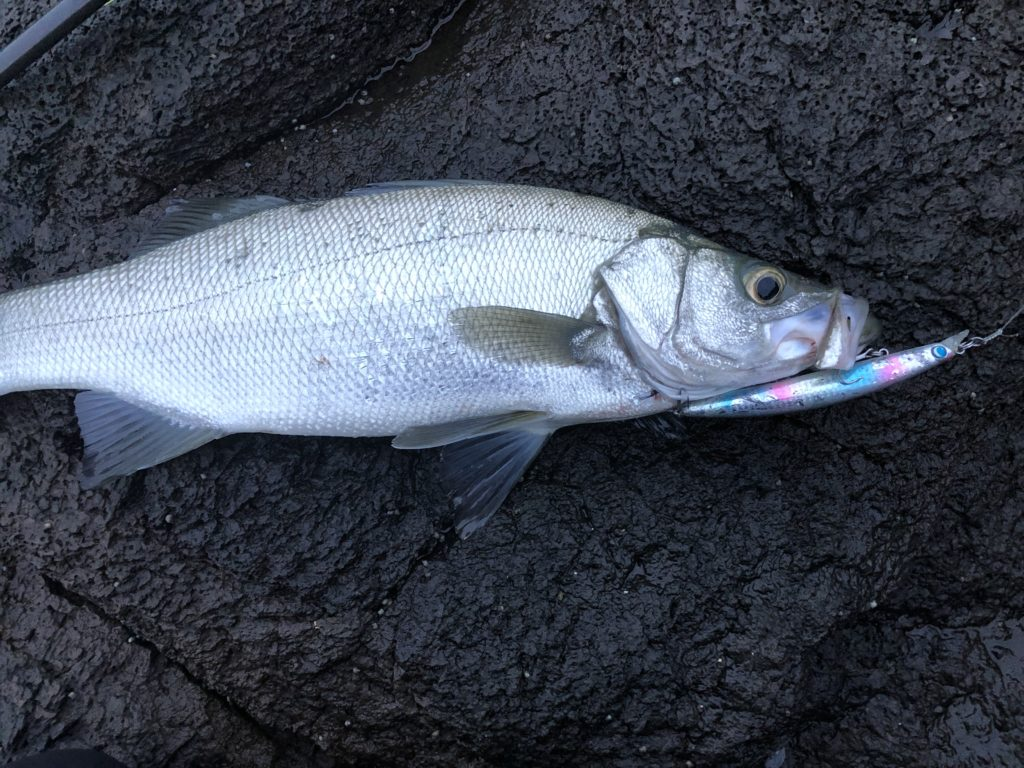 長崎地磯で釣れたヒラスズキ サーフェスウィング147Fで釣れたヒラスズキ