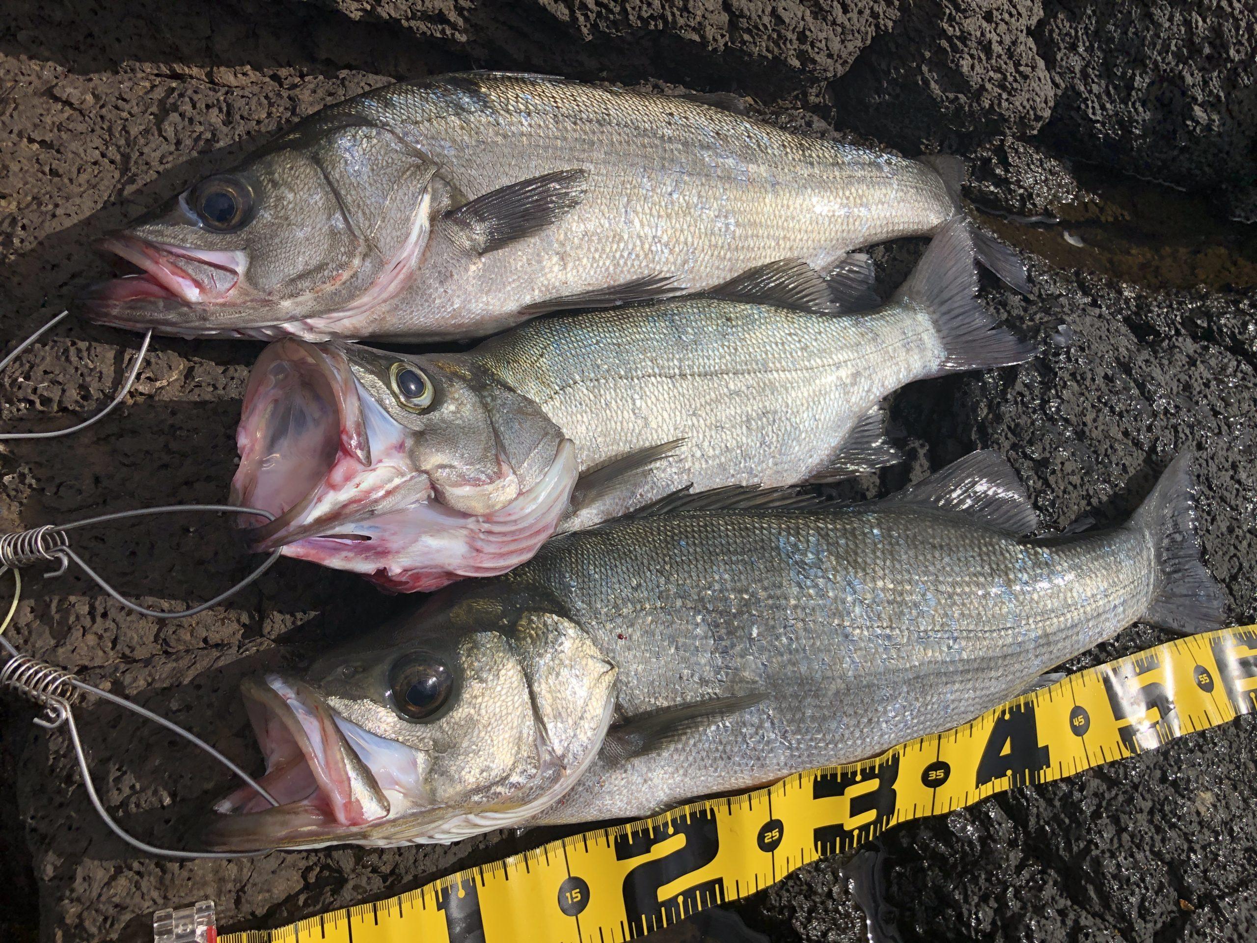 長崎地磯で釣れたヒラスズキ3本 今回の釣果