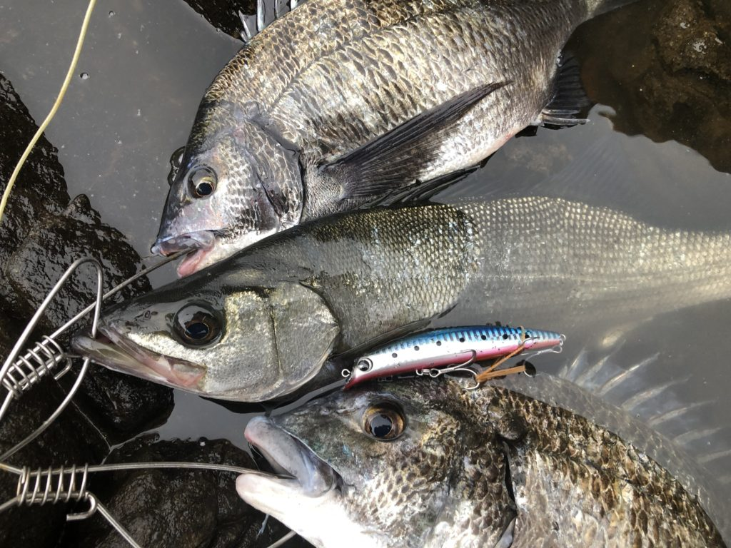 長崎地磯長崎で釣れたヒラスズキと黒鯛