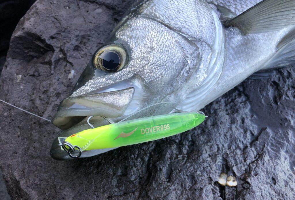 ドーバー99Sで釣ったヒラスズキ