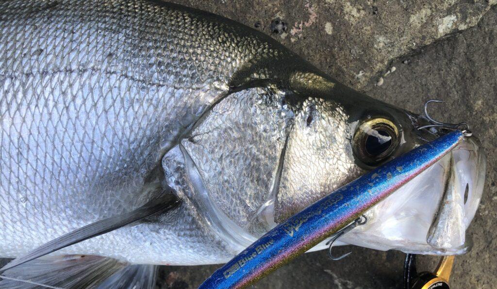 ブローウィン140Sで釣ったヒラスズキ