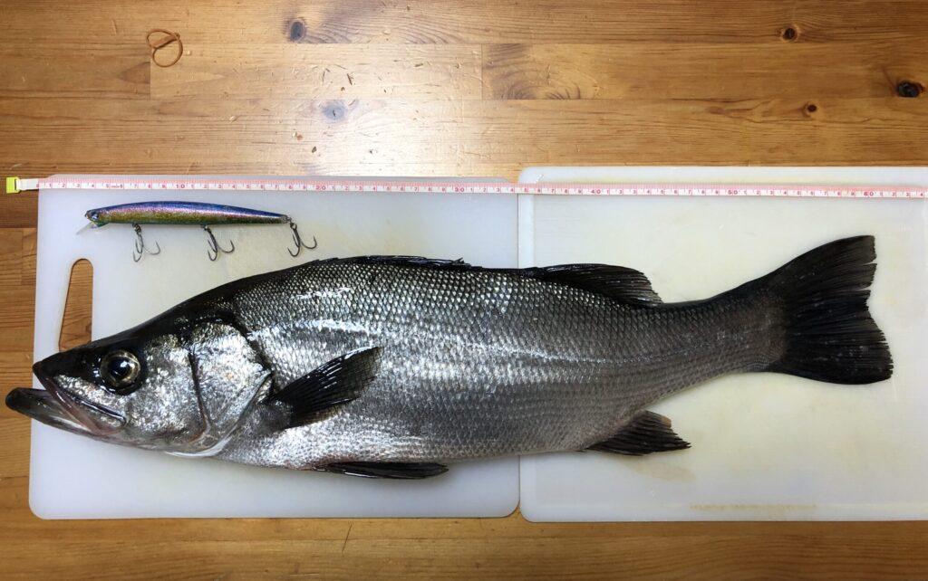 ブローウィン140Sで釣れたヒラスズキ