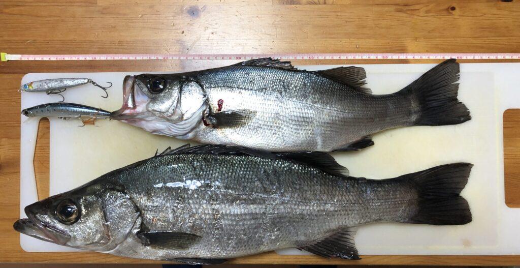 長崎地磯で釣れたヒラスズ ぶっ飛び君95Sで釣れたヒラスズキ タイドミノーLDで釣れたヒラスズキ