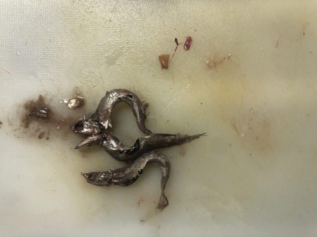 ヒラスズキが捕食していたベイト カタクチイワシ