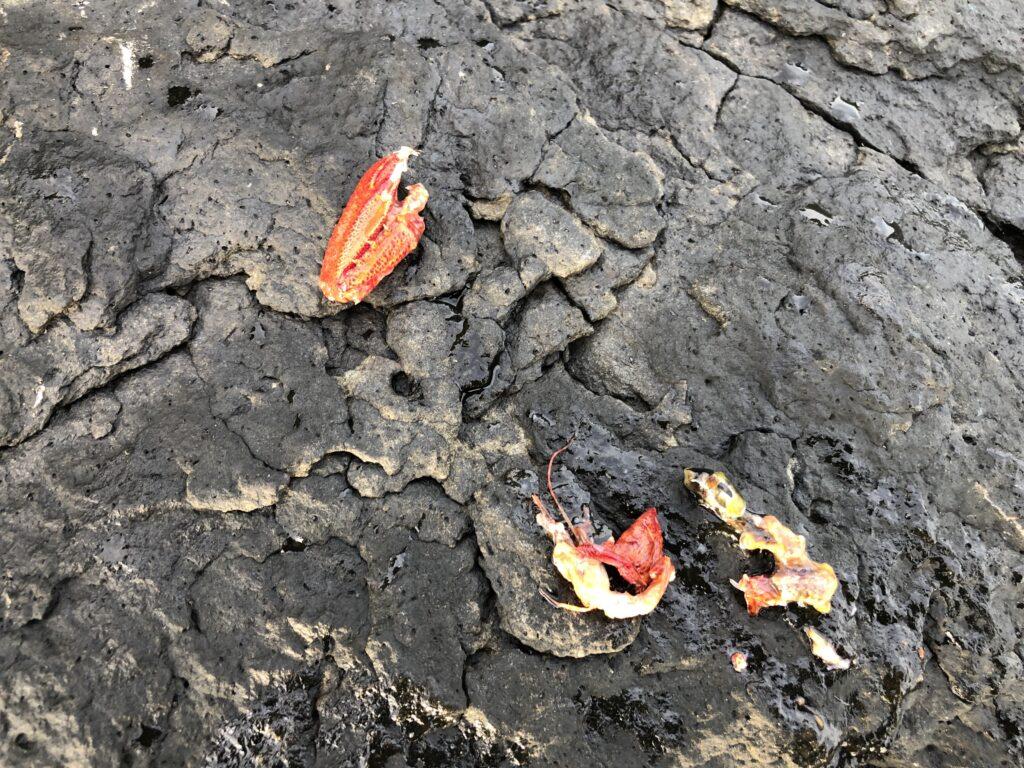 アカハタが吐き出したベイト カニ 甲殻類